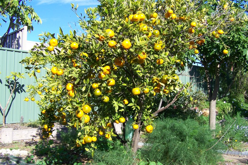 mandarin tree  - Live healthy by growing your own food